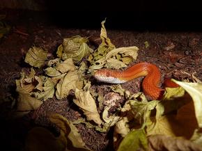 落叶中的红色的蛇