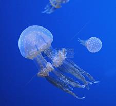 海洋里的水母