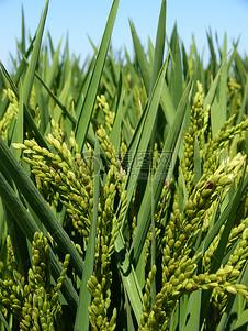 美丽的埃布罗三角洲稻田