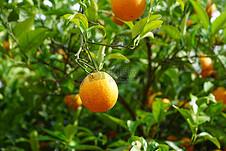 新鲜的柑橘水果