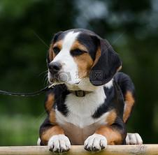 小猎犬混合品种