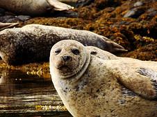 水里的小海狮