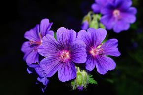 鲜艳的紫色花.