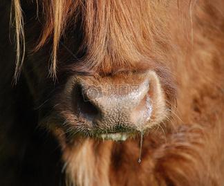 <i>流</i><i>鼻</i><i>涕</i>的苏格兰高地牛
