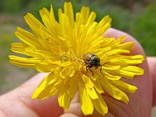 黄色花瓣上的甲壳虫